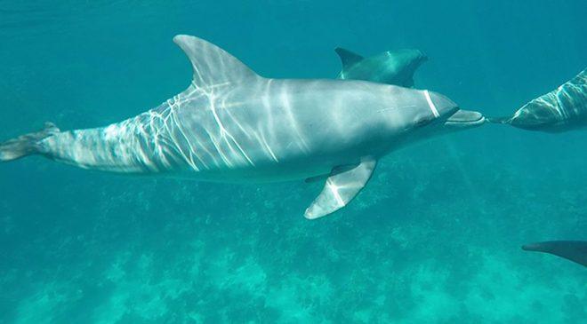 Video: Schnorcheln mit Delfinen in Ägypten